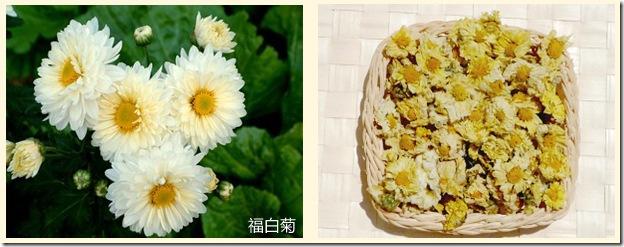福白菊配图